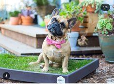 Pet Life, French Bulldog, Grass, Pets, Animals, Animais, Animales, Animaux, Bulldog Frances