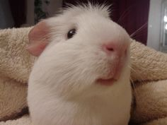 Name: Pablo, Breed: Self-Crested American guinea pig