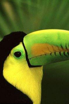 Toucan~  These birds are absolutely amazing in person... Just exquisite.