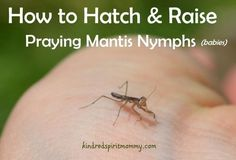 How to Hatch and Raise Praying Mantis Babies (Plus learning ideas for kids!)