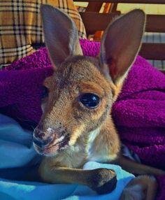 Les kangourous orphelins de mères percutées par une voiture ont désormais un refuge rien que pour eux