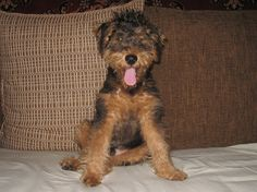 welsh terrier: Jerome