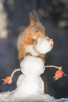 Red squirrels on snowman with  the snowmans head!  Cute!  :)