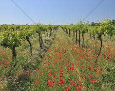 Poppies in the Vineyard - Fototapeten & Tapeten - Photowall