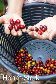 Op de koffie plantage - de koffiebessen. www.hopenstork.com