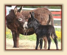 Signs Of Foaling - Quarter Moon Ranch Miniature Donkeys