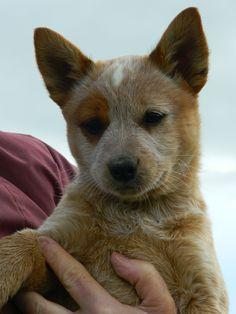 Red Heeler Puppy - Feenix