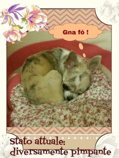 #chihuahua #vitadacani