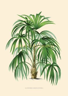 """£37 for 13""""x19"""" print This Palm tree image is taken from the original 1878 Paris lithograph of Tropical Palm Trees and Ferns Decorative items  Printed onto watercolor paper with a cream background to Your print comes from an original antique print or vintage lithograph Gicleé Printed onto museum quality 100% finest cotton 280 gms watercolor paper..."""