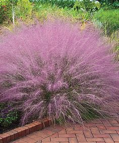 Pink Cotton Candy Ornamental Grass Plant - Set of Two