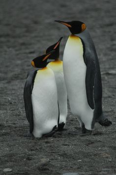 """Kings"" Photo takenby David J. #OceanwideExpeditions #PhotoContest"