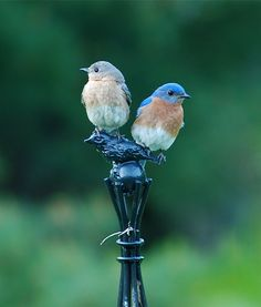 Bluebirds of happiness!