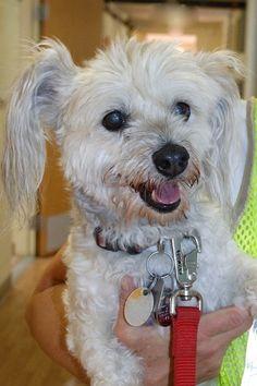 Petfinder  Adoptable | Terrier | Dog | Green Valley, AZ | Muffin
