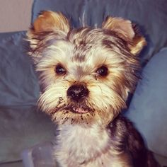 #yorkie #naughty #digging #juffed Yorkie, Dogs, Instagram Posts, Photos, Animals, Yorkies, Pictures, Animales, Animaux