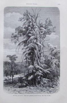 1896 ROTANG AUF JAVA alter Druck antique Print Lithographie Rattan Palme