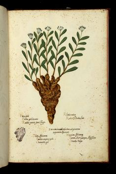 Tavole vol. 009 Piante Fiori Frutti, Ulisse Aldrovandi (1522-1605), Università di Bologna