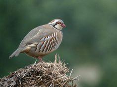 Red-legged Partridge (Alectoris rufa rufa)
