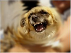 Food Aggression - Simple Steps so You Won't Get Hurt at Feeding Time. Food aggressive dogs also are aggressive with other dogs and people. Angry Animals, Animals And Pets, Animals Photos, Food Aggression In Dogs, Dangerous Animals, Crazy Dog Lady, Aggressive Dog, Dog Pin, Brown Dog