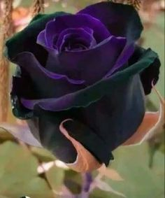 Black Flowers-Unfortunately, black is often associated with gloom, darkness, sadness and despair. The great news is that black flowers are now widely available to change such negative connotations into el Black Flowers, Exotic Flowers, Amazing Flowers, Beautiful Roses, Purple Flowers, Beautiful Flowers, Black Roses, Black Baccara Roses, Black Magic Roses