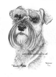 Miniature Schnauzer dog drawing