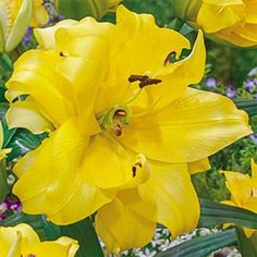 """Giant Double Hybrid Lily Exotic Sun.  Upward-facing, yellow double blooms grow to an impressive 8""""! Strong and sturdy, this sweet-smelling lily perennializes well, for unending color year after year. 'Exotic Sun' also makes an excellent cut flower. Fragrant."""