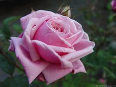 'Blossomtime ' Rose Photo