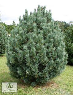 Garden Trees, Trees To Plant, Baumgarten, Winter Garden, Four Seasons, Evergreen, Flora, Yard, Landscape