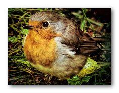 Oldrobel's Fotoreise: Robin