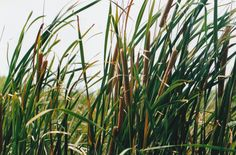 Here is a picture of the wetland Cattails plant one of the most common marsh land plants that is normally located on the edge of  ponds.