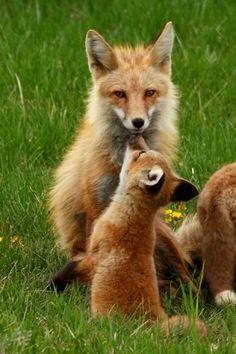 Baby fox gives mama a kiss.