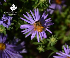 native plant, perennial, bees , butterflies, fall bloomer