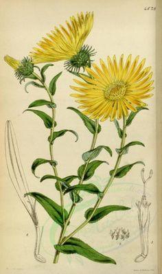 flowers-05743 - 4628-grindelia grandiflora, Large-flowered Grindelia [2087x3529]