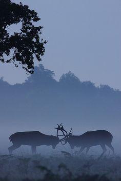Red Deer Stags Rutting, Richmond Park, Surrey by Craig Denford