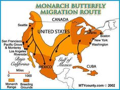 Trenka emphasizes inherited qualities over social when she writes about the migration of of butterflies. Butterfly Information, Monarch Butterfly Migration, Citizen Science, Butterfly Pictures, Save The Bees, Life Cycles, Habitats, Butterfly Cage, Butterfly House