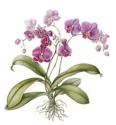 Société Française d'Illustration Botanique Anita Walsmit Sachs