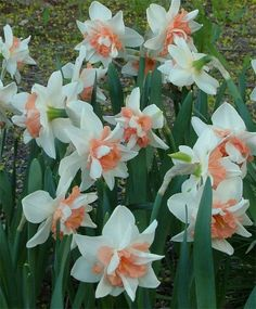 Narcissus Candy Princess - Double Narcissi - Narcissi - Flower Bulb Index