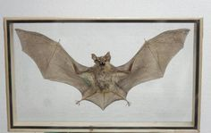 REAL HORSESHOE BAT Insect Taxidermy Double Glass Frame