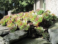 "From the blog - Clusters of Sempervivum tectorum, also known as houseleeks or live forevers. They are believed to protect a home from lightning. But I love the ancient name for these plants, which is ""Welcome home husband, however late and drunk thee may be."""
