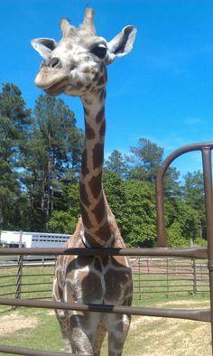 love giraffes! so cute