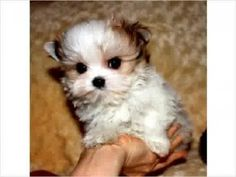 All About Morkies. Read Info & Articles About Morkies. Small Dogs with Big Personalities! Read About Morkie Health tips, Training, Morkie Breeders, See Morkie Pictures. Morkie Books & More. We Love Our Morkie Dogs Morkie Puppies For Sale, Cute Puppies, Cute Dogs, Dogs And Puppies, Doggies, Poodle Puppies, Baby Puppies, Teacup Morkie, Teacup Puppies
