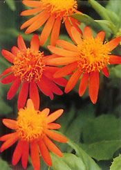 MEXICAN FLAME VINE  For sheer beauty, the brilliant orange daisy clusters of Mexican flame vine (Senecio confusus) are hard to beat. This trouble-free climber with arrowhead leaves rapidly blankets a chain-link fence or a column. It offers a continuous spring-to-fall procession of blooms which slowly turn red as they age. This sun-loving perennial, also available as a 'Sao Paulo' cultivar with only red flowers, especially appeals to Gulf Fritillary butterflies