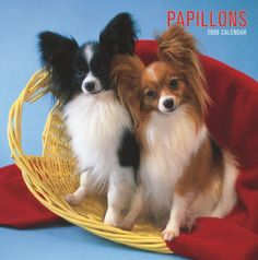 Teacup+Papillon+Puppies+For+Sale | Papillon (Pappillon) Puppies Dogs Sale Breeders Papillons