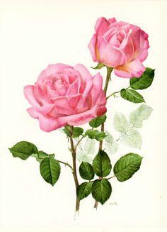 Vintage Tea Rose Botanical Print:: Grace De Monaco, H.T. Meilland 1956