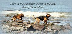 German shepherds having fun in the water | #German #shepherd #cute