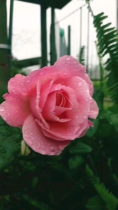 Rose Flower Pictures, Beautiful Flowers Pictures, Beautiful Flowers Wallpapers, Beautiful Rose Flowers, Exotic Flowers, Amazing Flowers, Pink Rose Flower, Pretty Roses, Flowers Nature