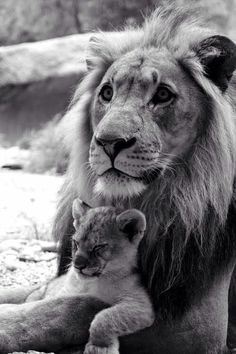 Baby lion and daddy.