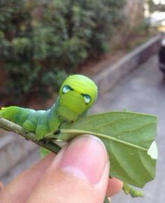 This caterpillar looks like Iron Man