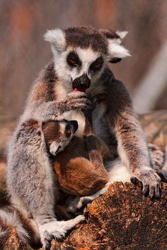 Lemur Mother and Baby!Travel to Madagascar with ISLAND CONTINENT TOURS DMC. A member of GONDWANA DMC, your network of boutique Destination Management Companies for travel across the globe - www.gondwana-dmcs.net
