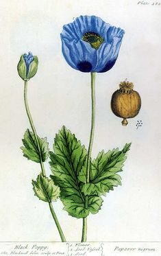Black poppy - illustration from A Curious Herbal by Elizabeth Blackwell