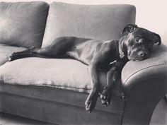 Sofa Boxer, Pitbulls, Sofa, Animals, Animales, Couch, Animaux, Boxers, Pit Bull
